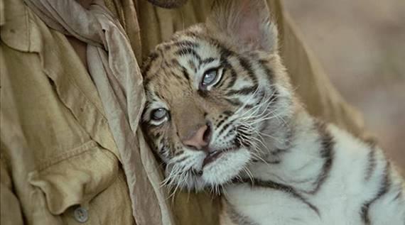 Tigre con la boca abierta  Descripción generada automáticamente
